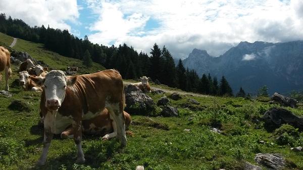 Kuh mit Berg2